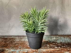 Bilde av Sukkulent  i potte H:23cm